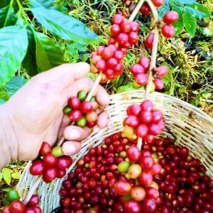 cafe-oro-magico-proceso-4.jpg